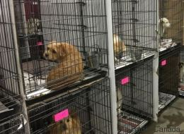 37 chiens destinés à être mangés rapatriés à Montréal