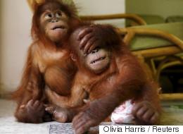 Deux bébés orangs-outans sauvés des griffes de trafiquants grâce à une application mobile