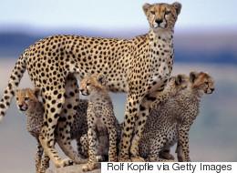 지상에서 가장 빠른 포유류도 멸종의 길을 걷는다