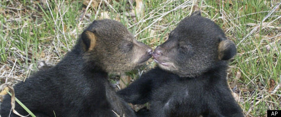 Orphaned Black Bear Cubs Tahoe