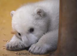 Ce petit ourson polaire va vous faire craquer