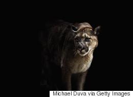 Un homme sauve son chien attaqué par un cougar en Alberta