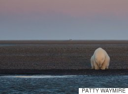 북극곰 사진을 찍으러 알래스카에 간 사진가는 놀랍도록 슬픈 사실을 깨달았다