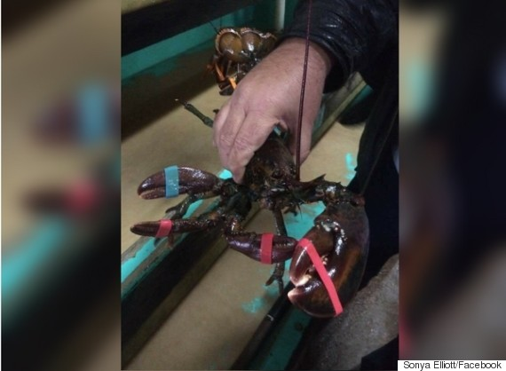 crazy claw lobster