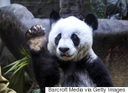 Pan Pan, le plus vieux panda mâle du monde, est mort