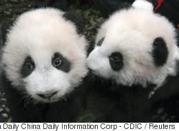 Première sortie publique pour ces deux bébés pandas... et ils sont trop mignons