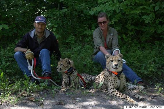 bc cheetahs