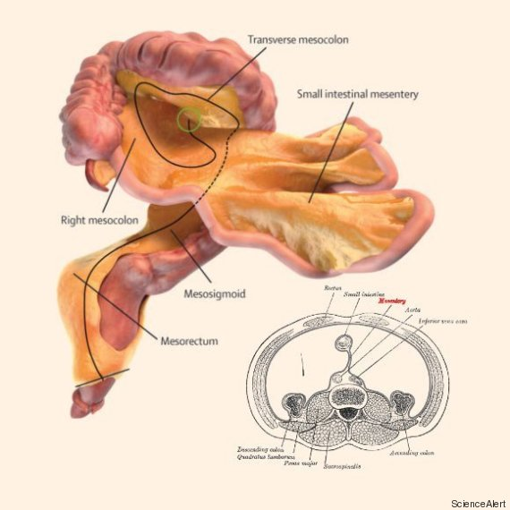 Abbiamo un 'nuovo' organo cos'è il mesentere e a cosa serve