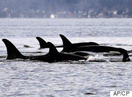 Oldest Orca In B.C. Pod Presumed Dead