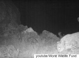 네쌍둥이 눈표범이 야생에서 처음 카메라에 포착됐다