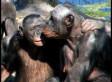 Bonobo Love: Valentine's Advice From Christopher Ryan