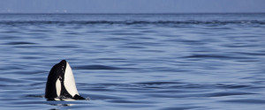 Killer Whales British Columbia
