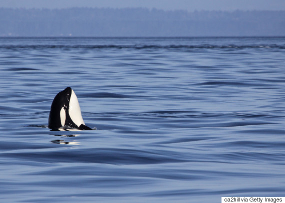 killer whales british columbia