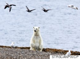 Climate Change Is Actually Going To Kill The Polar Bears