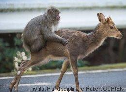 Quand un singe tente de s'accoupler avec une biche