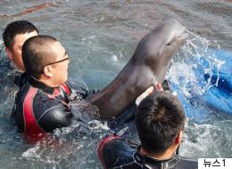 토종돌고래 상괭이 천마리가 매년 혼획으로 죽는다