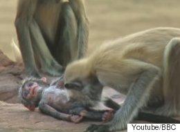 로봇 원숭이의 죽음에 슬퍼하는 랑구르 원숭이 떼