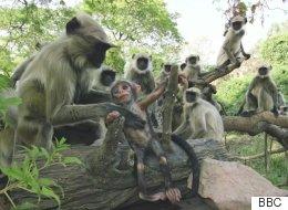 La réaction de ces singes à la mort d'un petit robot singe est incroyablement émouvante