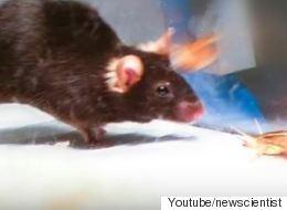 Επιστήμονες δημιούργησαν ποντίκια δολοφόνους με τη χρήση λέιζερ. Επόμενος σταθμός ο άνθρωπος;