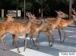 Des photos magiques d'une ville japonaise envahie par des daims
