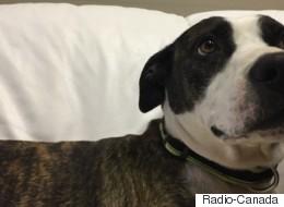 Interdits en Ontario, les pitbulls sont envoyés à la SPCA de Saskatoon
