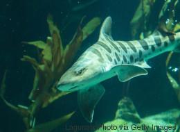 Cette femelle requin a fait des bébés toute seule