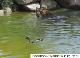 H πιο γενναία πάπια στον κόσμο. Κολυμπούσε αγέρωχη δίπλα σε μία τεράστια τίγρη