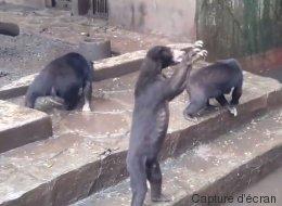 Ces images d'ours affamés en captivité ont suscité l'indignation