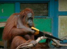 Cet orang-outan manie la scie comme un humain
