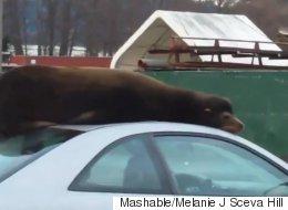 이 바다사자는 왜 혼다 시빅 위에서 낮잠을 잤을까?