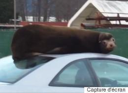 Ce lion de mer a confondu une voiture avec son rocher