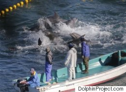 고문 같은 5일 간의 돌고래 사냥 그리고 울산 고래생태체험관