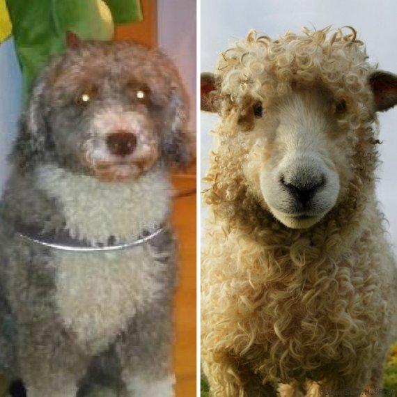 Rostock - Mann gibt Hund als Schaf aus, um Geld zu sparen