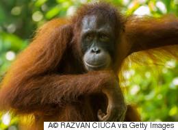 Un Tinder pour orangs-outans testé aux Pays-Bas