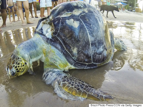 dead sea turtle plastic