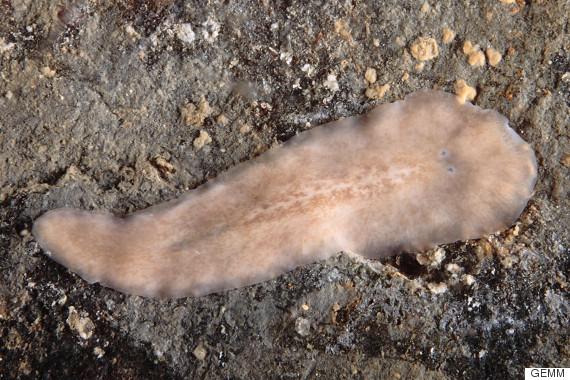 gusano plano