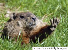 Consensus chez les marmottes canadiennes: le printemps arrive!