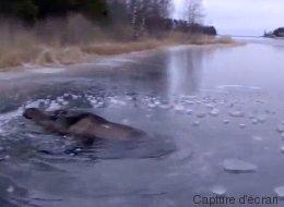 Cet élan piégé dans la glace a eu de la chance de tomber sur ces patineurs