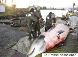 On a découvert une baleine échouée qui avait 30 sacs de plastique dans l'estomac