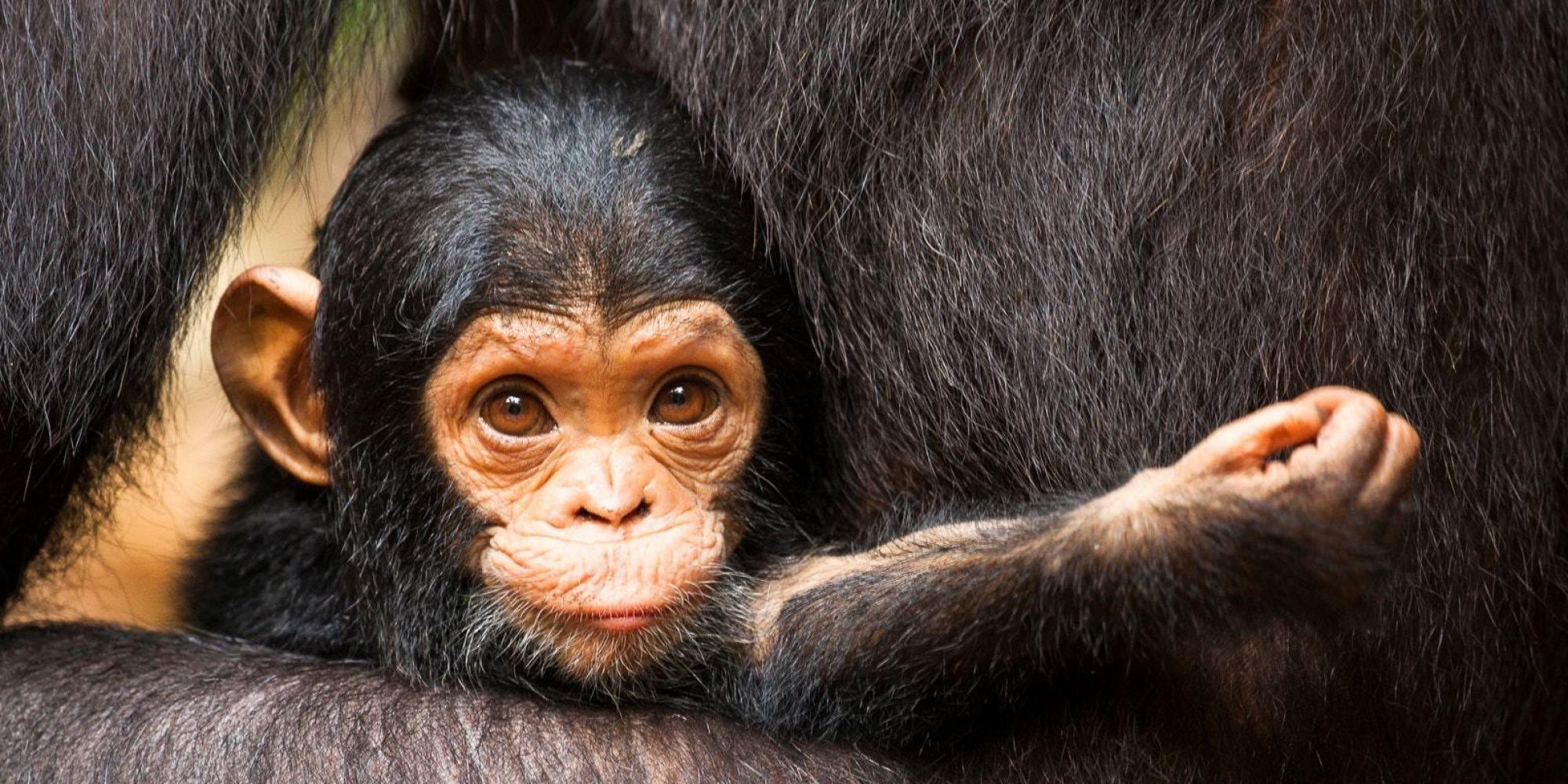 Exposing The Secret Trade In Baby Chimps Huffpost Uk