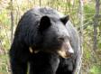 145 Black Bears Killed In Alberta Oil Sands