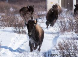 Les bisons de retour dans le parc national Banff après plus de 100 ans d'absence