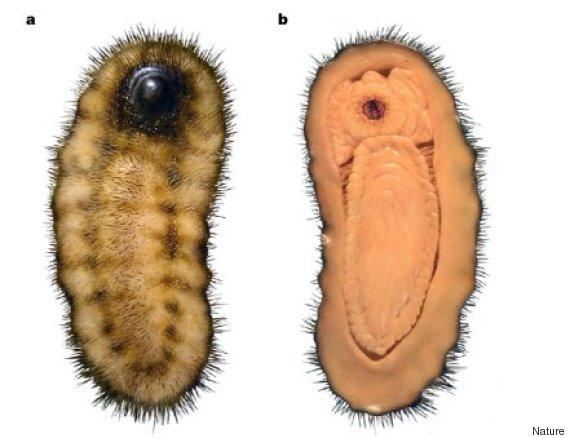 calvapilosa kroegeri