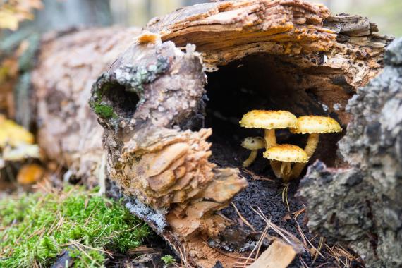 death cap mushrooms