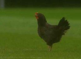 دجاجة تقتحم الملعب خلال مباراة سبورتينغ براغا وإشتوريل برايا.. لن تصدق السبب
