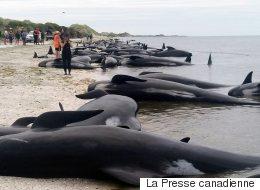 Plus de 400 baleines s'échouent en Nouvelle-Zélande