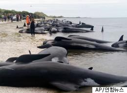 뉴질랜드 해변에서 300여마리의 고래가 죽었다