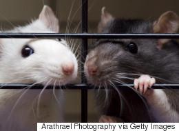 Nouvelle maison pour 350 rats domestiques trouvés dans un appartement en Ontario