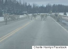 ► Oh Nothing, Just A Herd Of Caribou Licking Salt Off A Highway
