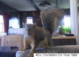Pet Squirrel Stops Burglary By Scratching The Crap Out Of Thief